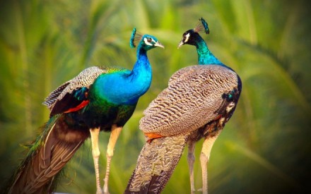 3-beautiful-peacock-photo-by-sibiar.preview